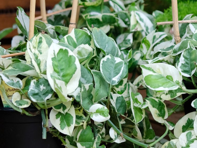Picking the Perfect Pothos