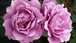 15 Fragrant Roses