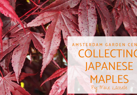 Collecting Japanese Maples