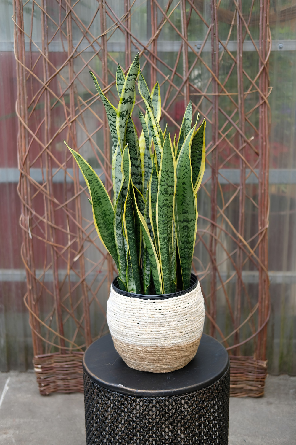 Sansevieria trifasciata 'Laurentii' - green and yellow houseplant in a basket