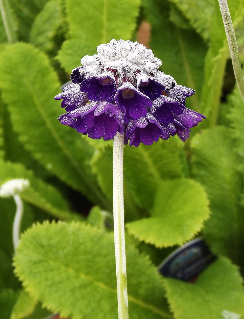 Primula capitata purple flower
