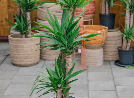 5 Great Large Tropical Houseplants