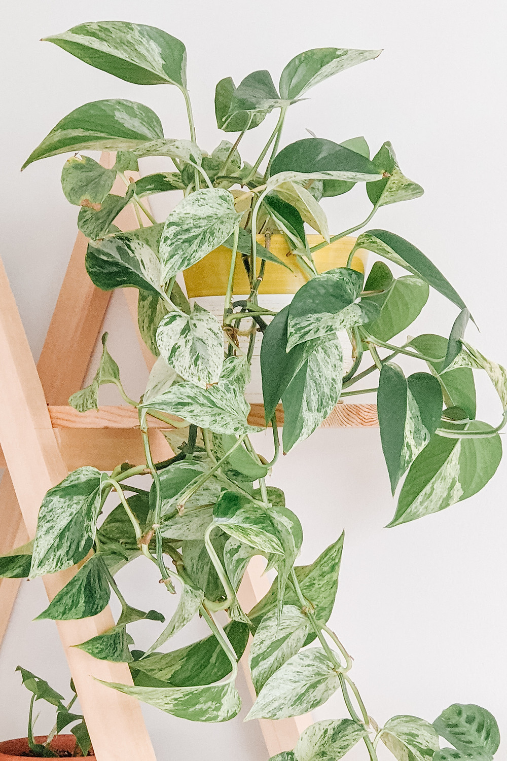 Marble Queen Pothos with Green and White Leaves