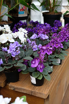 African Violets.JPG
