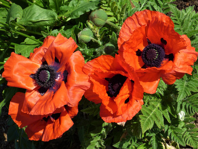 Enigmatic Poppies