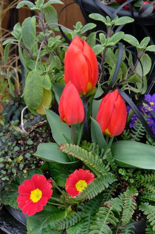 Primulas ad Tulips