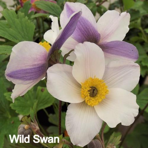 'Wild Swan'