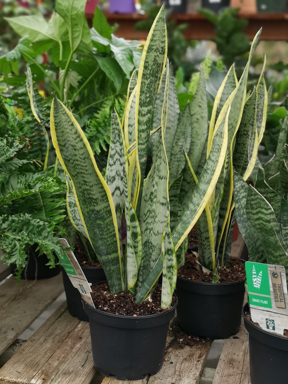 Sansevieria trifasciata 'Laurentii' - green and yellow houseplant