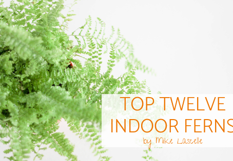 Top Twelve Indoor Ferns