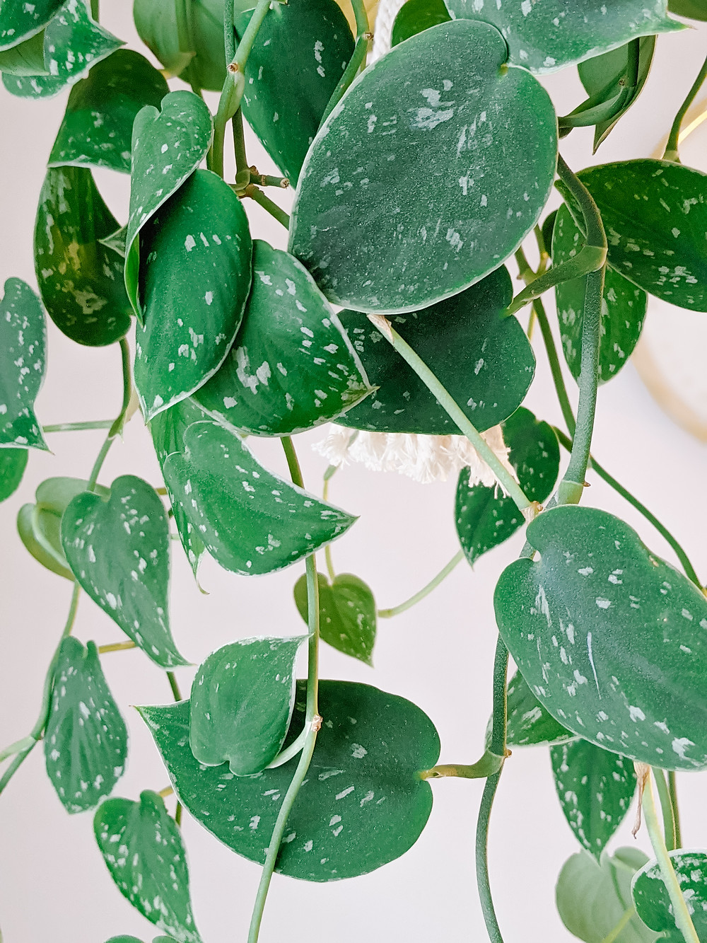 Satin Pothos with green leaves and silvery speckles