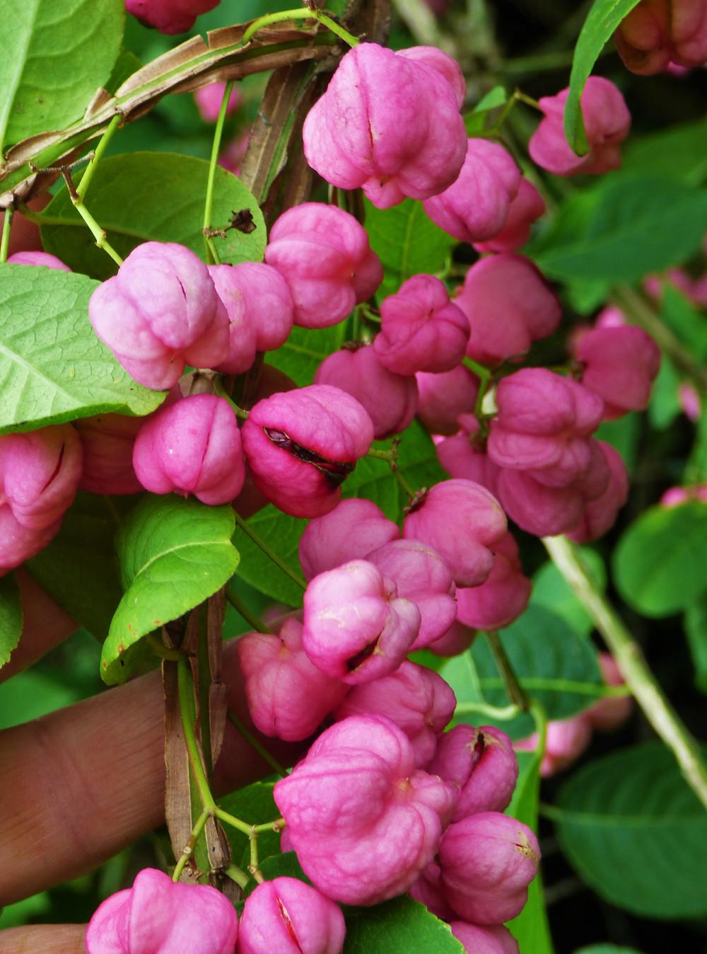 Euonymus phellomanus fruit
