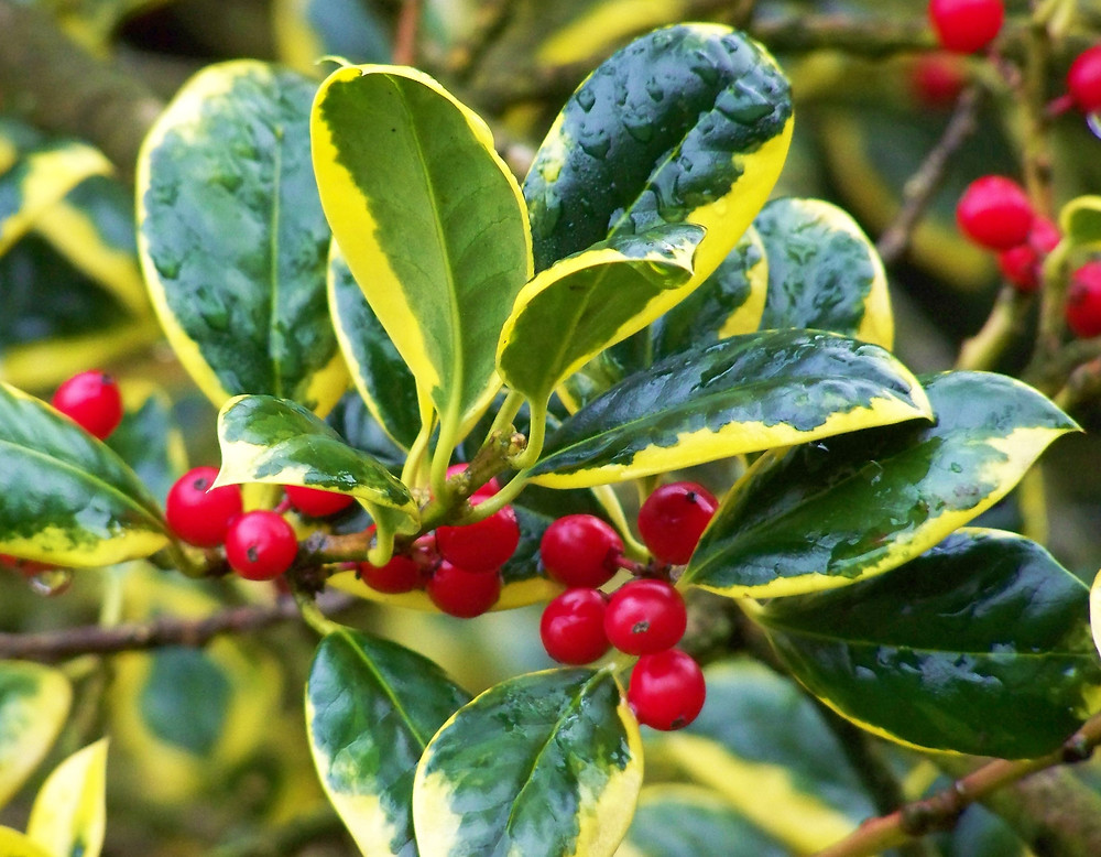 Ilex x altaclarensis 'Golden King'  Green and Yellow plant with Red berries