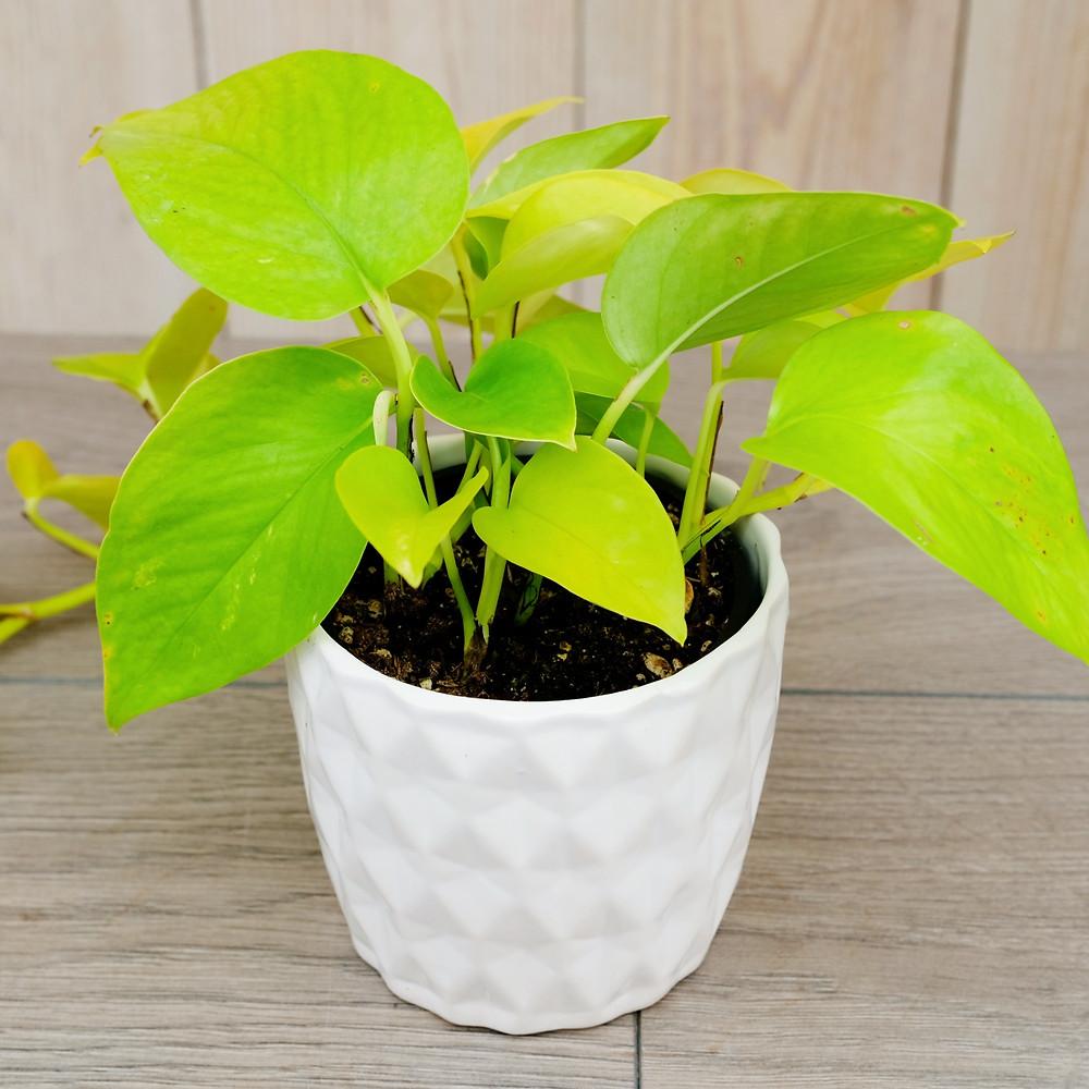 Lime green 'Neon' Pothos in white pot