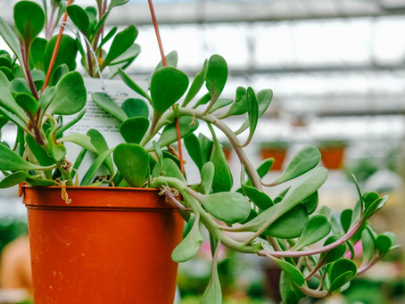 Hanging Houseplants - Part 1