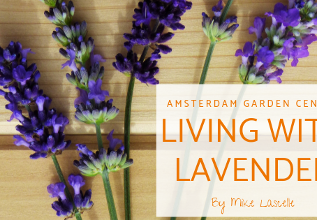 Living with Lavender