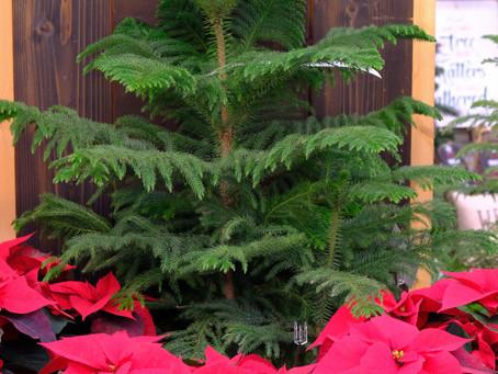 Norfolk Pines: Houseplant & Christmas Tree Alternative