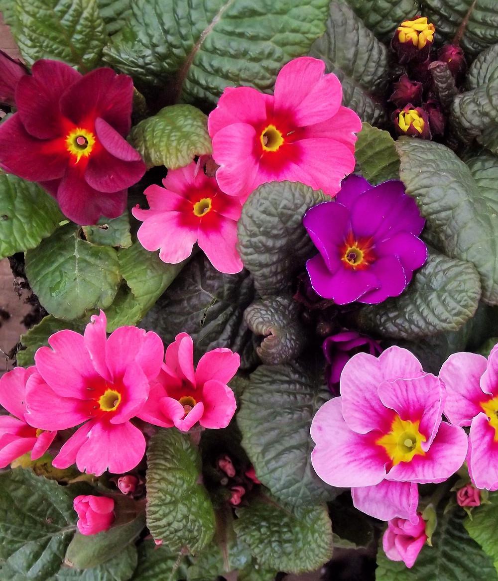 Primula 'Wanda Supreme Mixed'