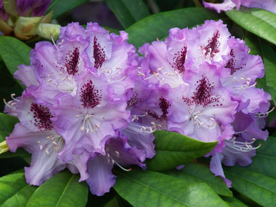 Rhododendron 101