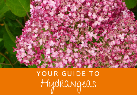 Your Guide to Hydrangeas