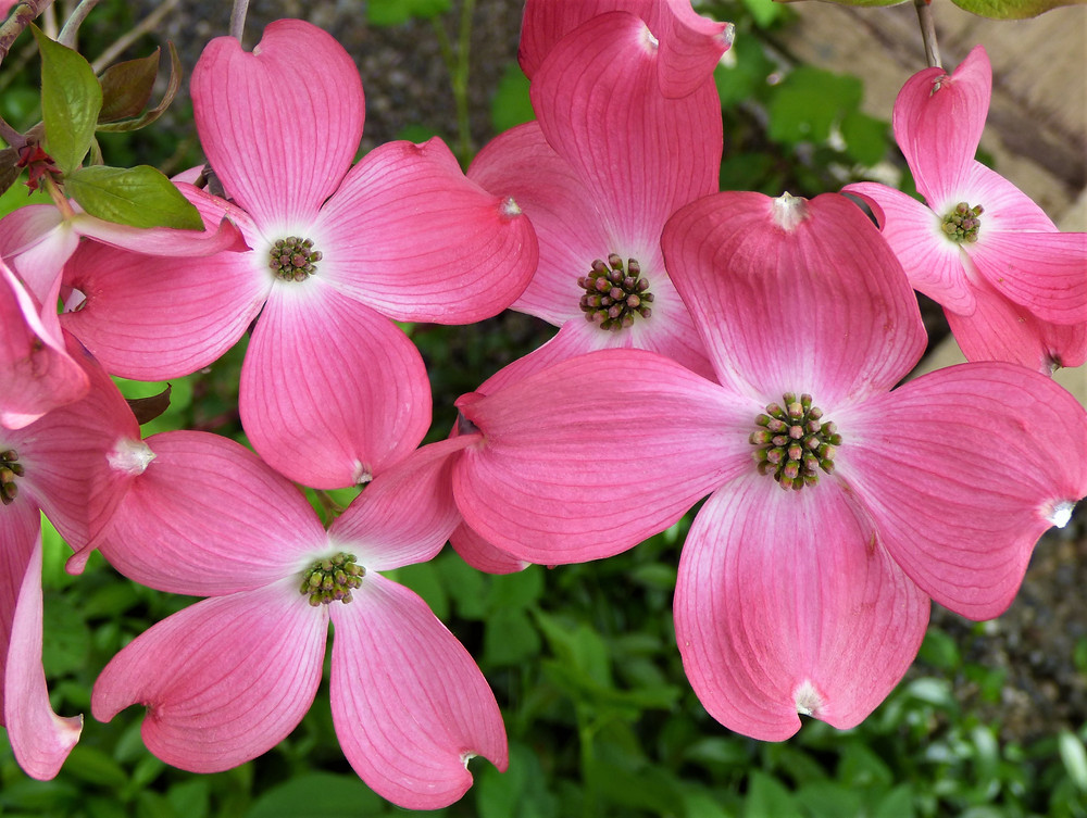Pink flowers of a Dogwood Tree