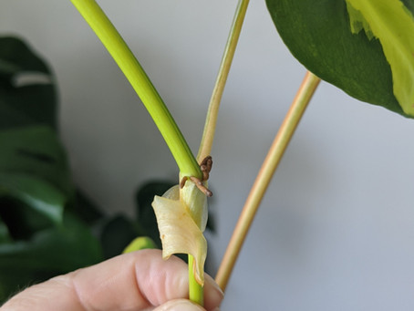 Plant Spotlight: Philodendrons