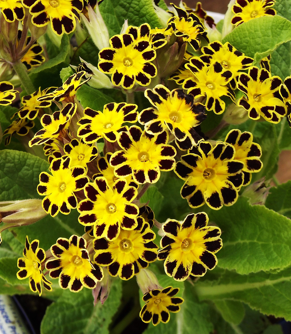 Primula 'Gold-Laced Group'