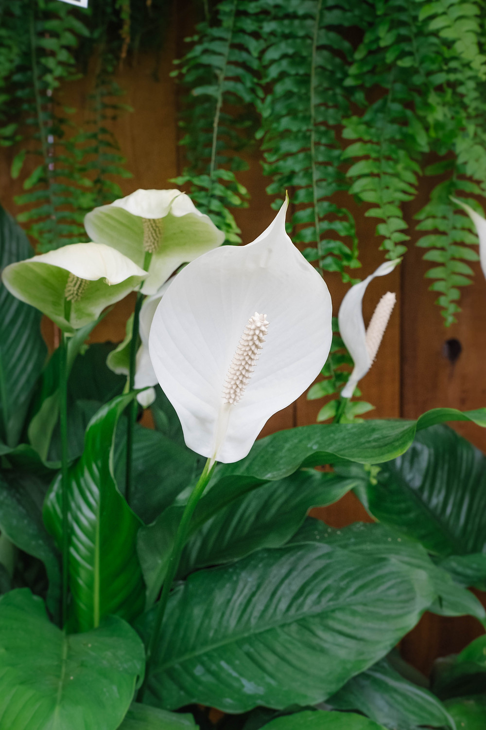 White Flower of Peace Lily
