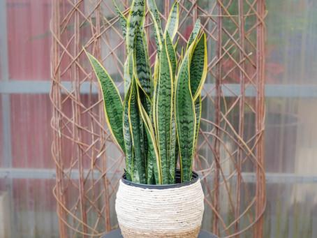 Caring For Your Houseplants: Repotting & Dividing Sansevieria trifasciata aka Snake Plants