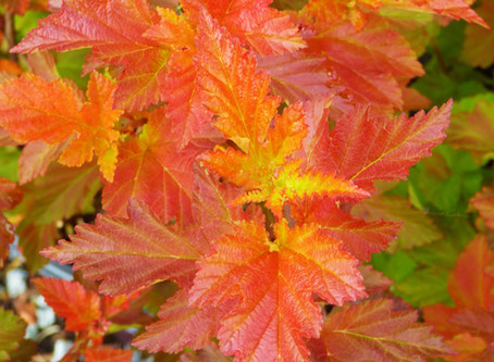 Ten Fantastic Foliage Shrubs