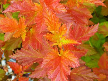 Ten Fantastic Foliage Shrubs