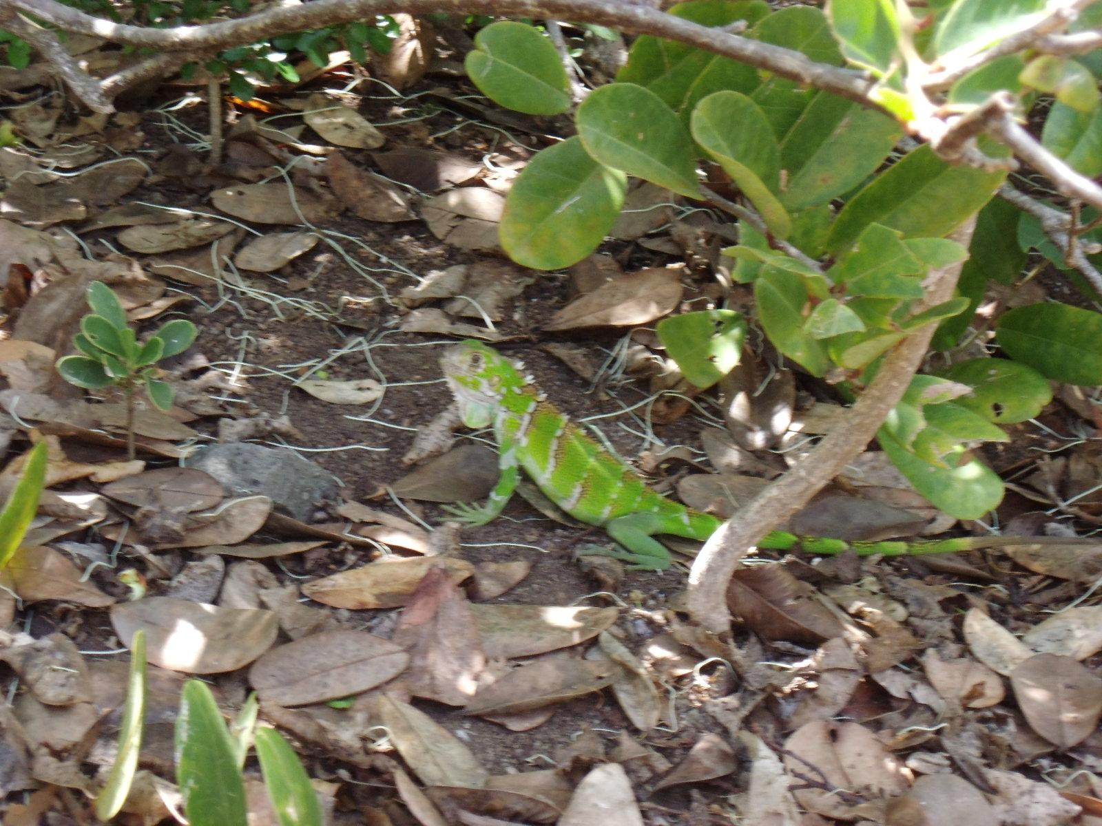 Iguana Tobago Cays