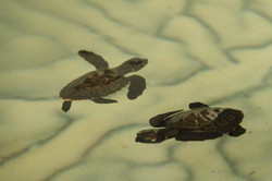 Aufzuchtstation Schildkröten Grenada