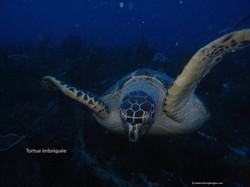 Schildkröten in den Tobago Cays