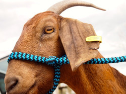 Loopy Leads Goat