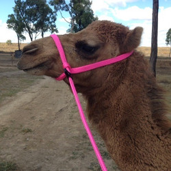 Loopy Leads Camel