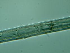 Microscopic View   Vectran Fibre   IRB Pty