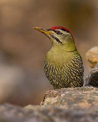 Uttrakhand Birding Tour