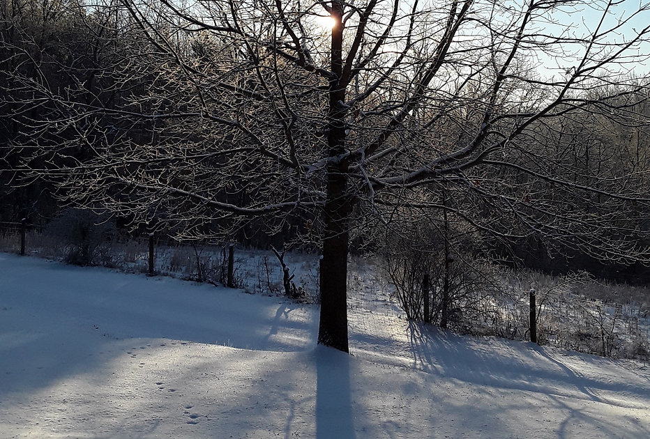 Sunshine through icy, snowy tree branches