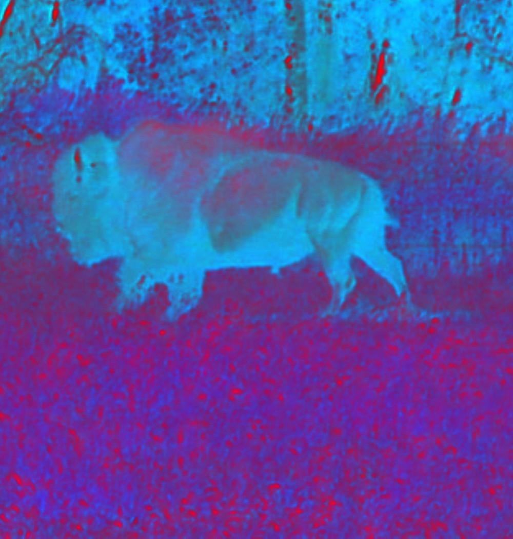 gamma blue pin neg Bison bull running.JPG