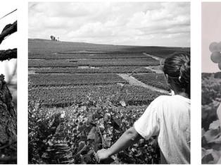 La viticulture ou le travail des vignes tout au long de l'année 🌱