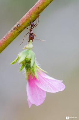 La fourmi romantique
