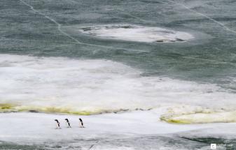 Trois p'tits manchots sur la glace