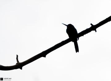 Le jacamar broie du noir