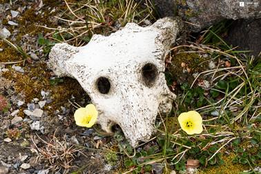 Ceci n'est pas un crâne de renard !