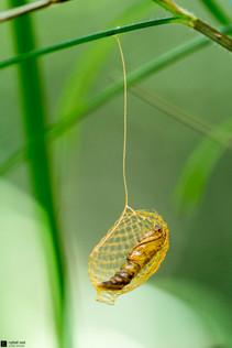 Cocon de papillon Urodidé