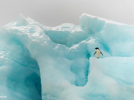Manchot Adélie Adelie's penguin.jpg