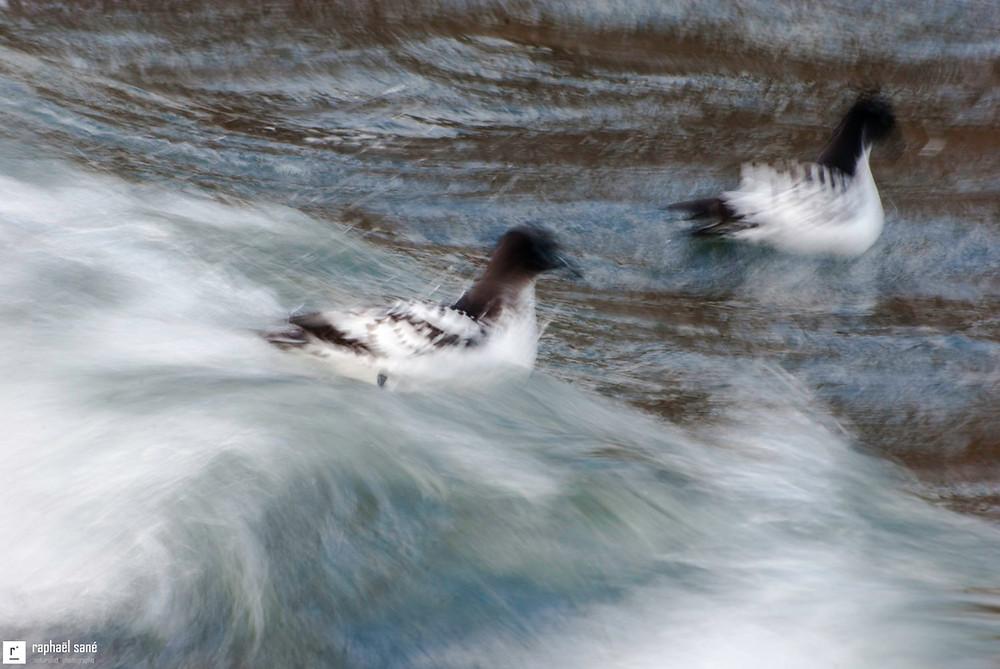 Damiers du Cap se nourrissant près du rivage sur l'Ile Deception aux Shetland du Sud, Antarctique. Photo faite avec une vitesse lente pour illustrer le mouvement gracieux des oiseaux.