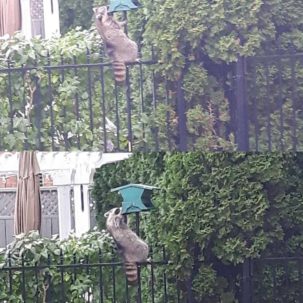 Raccoon in backyard of house