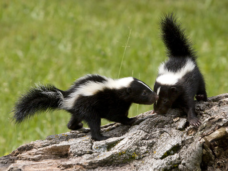 How Can We Protect Our Home From skunks Damage?