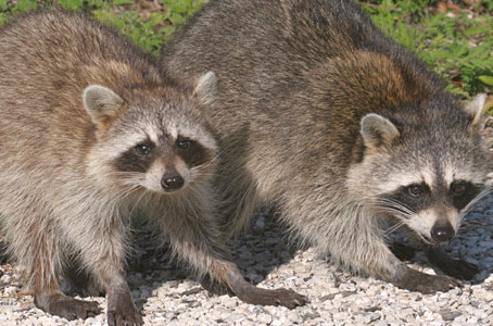 How Can I Protect My Home From Raccoon Damage?